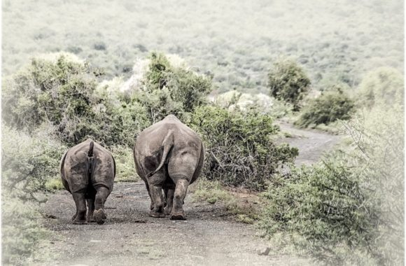 Rhino mother and calf just strolling