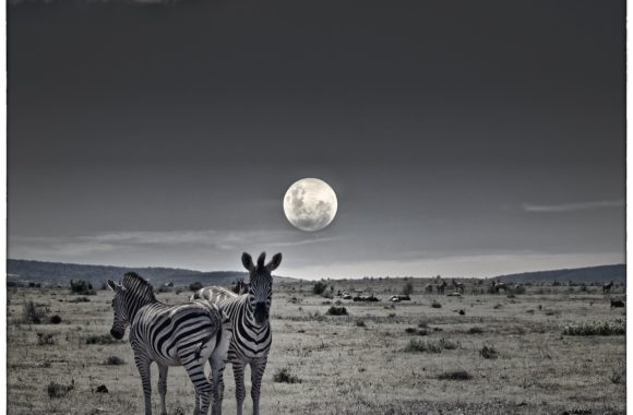 Zebras by moonlight