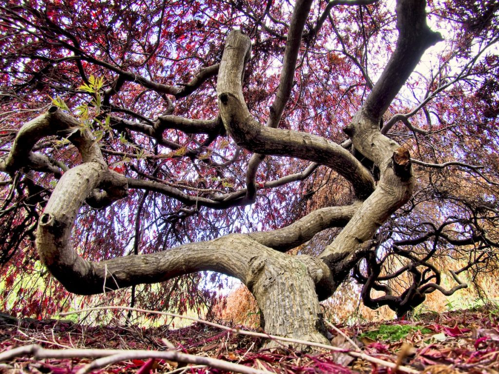 Dwarf Japanese Maple dancing at Hogsback